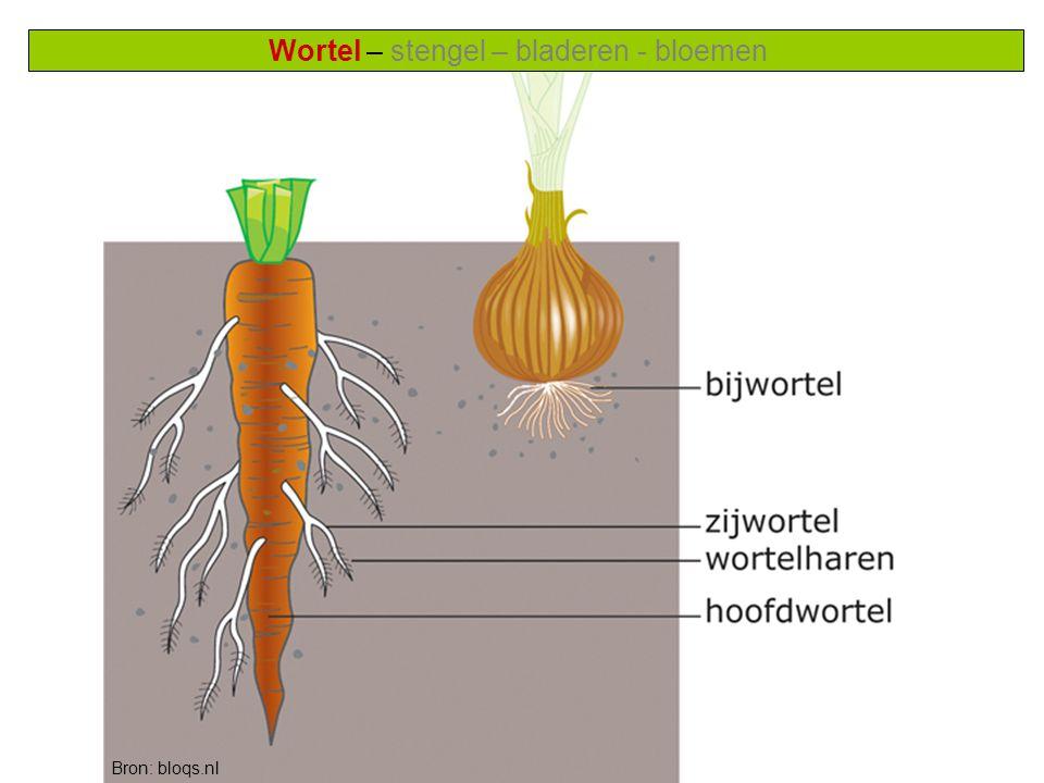Wortel – stengel – bladeren - bloemen Functie 1 van de wortel: Opnemen van water en voedingsstoffen (mineralen) uit de bodem Vraag: Welke plant leeft in een droge omgeving en welke in een natte.