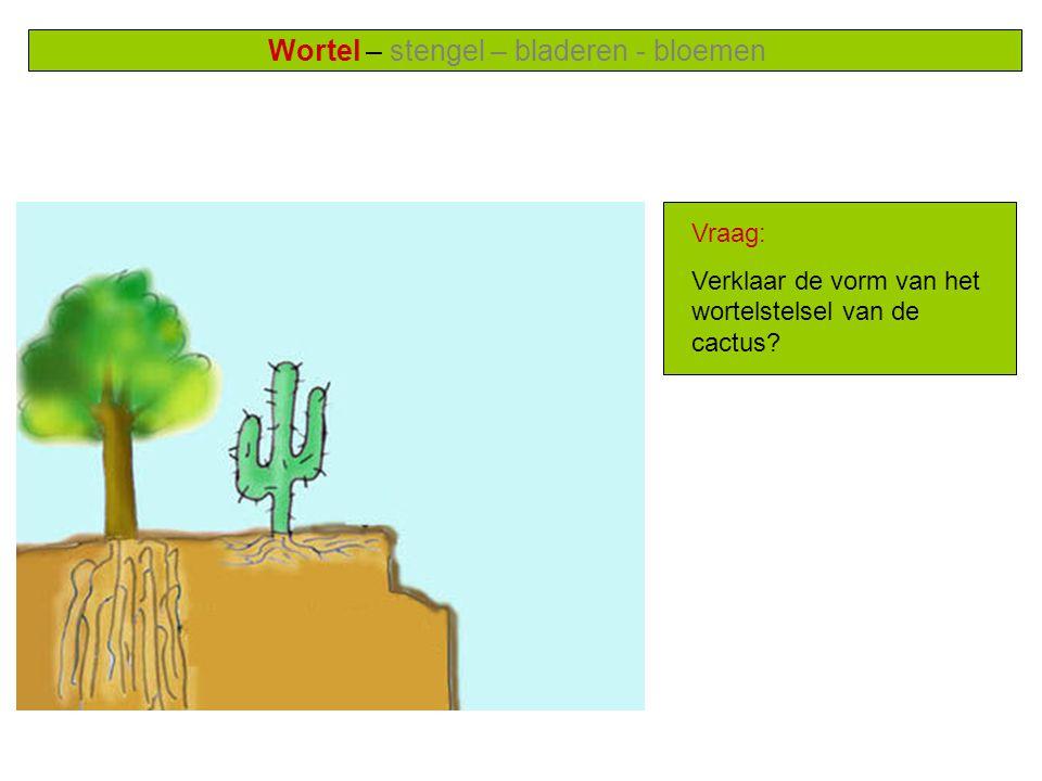 Wortel – stengel – bladeren - bloemen Vraag: Verklaar de vorm van het wortelstelsel van de cactus?