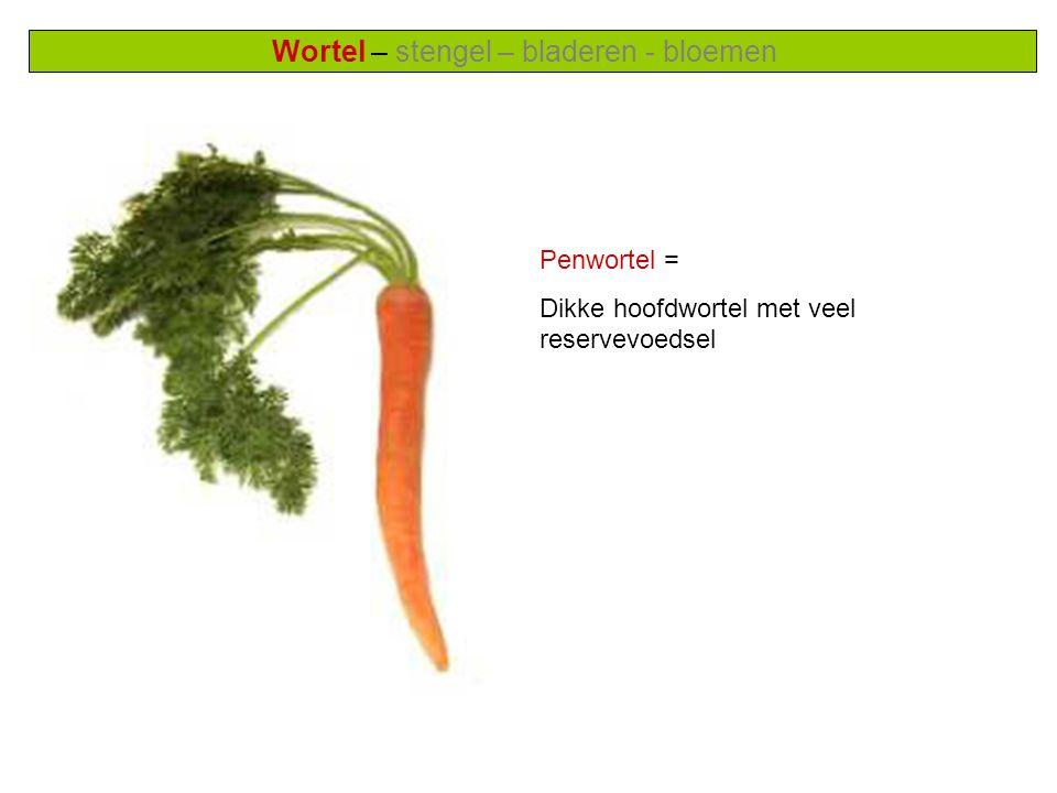 Wortel – stengel – bladeren - bloemen Penwortel = Dikke hoofdwortel met veel reservevoedsel