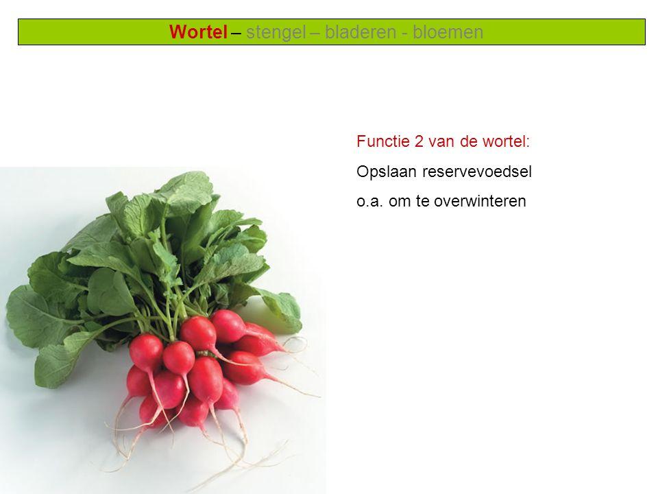 Wortel – stengel – bladeren - bloemen Functie 2 van de wortel: Opslaan reservevoedsel o.a.
