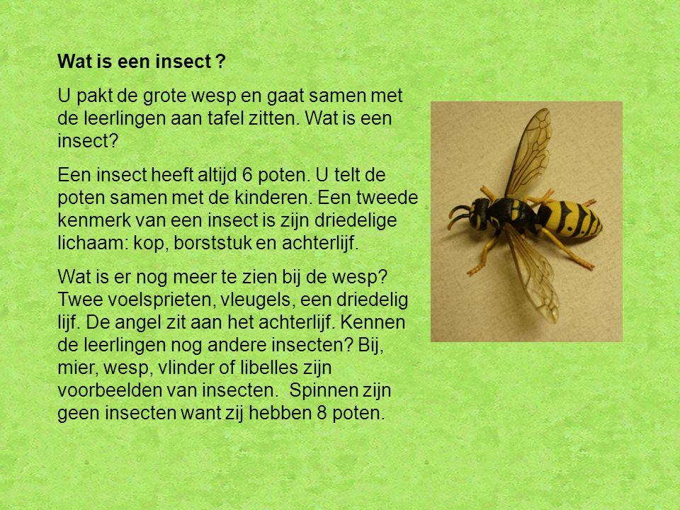 Wat is een insect ? U pakt de grote wesp en gaat samen met de leerlingen aan tafel zitten. Wat is een insect? Een insect heeft altijd 6 poten. U telt
