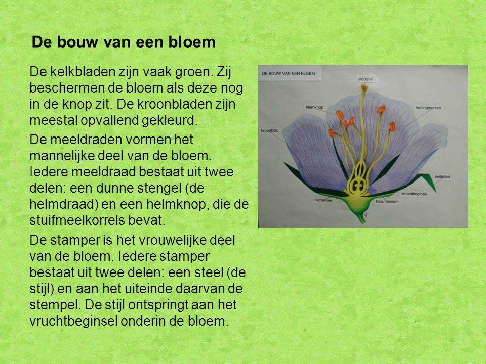 De bouw van een bloem De kelkbladen zijn vaak groen. Zij beschermen de bloem als deze nog in de knop zit. De kroonbladen zijn meestal opvallend gekleu