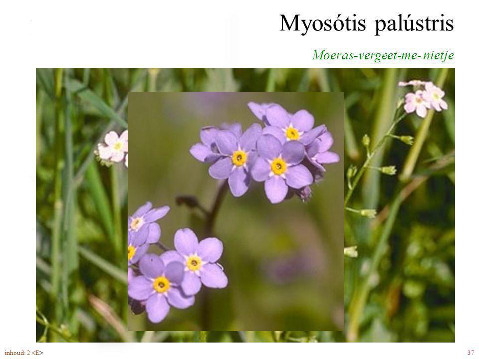 Myosótis palústris Moeras-vergeet-me- nietje bloemen (5-6) in schichten inhoud: 2 37