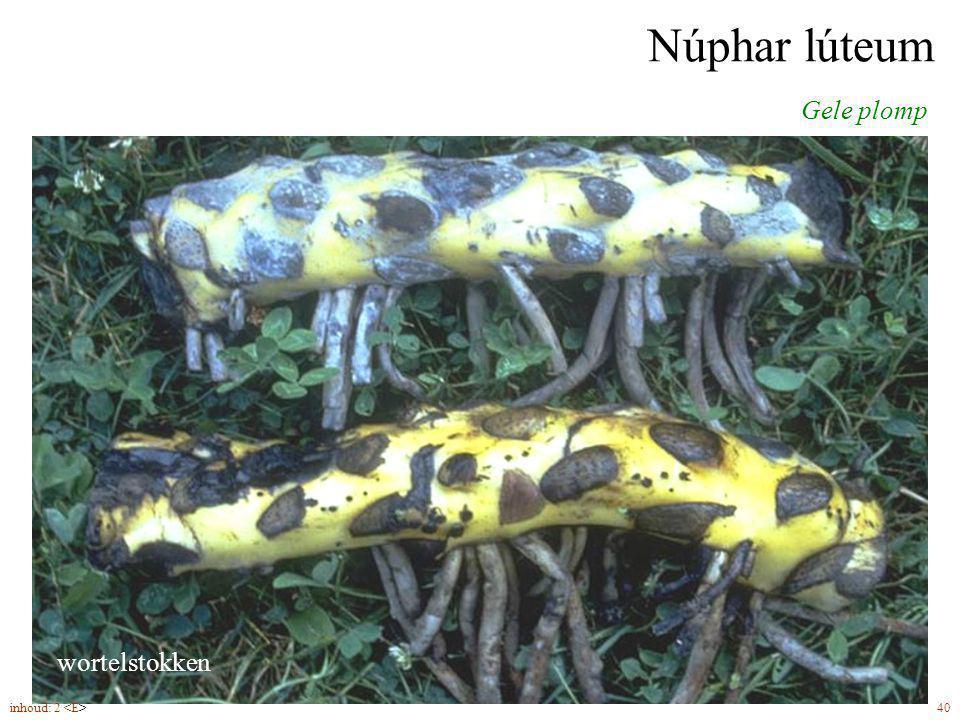 Núphar lúteum Gele plomp bloemen (5-8) met kelkbladen groter dan kroonbladen wortelstokken inhoud: 2 40