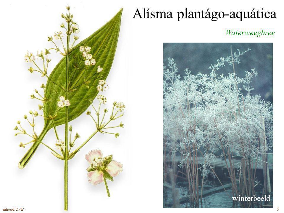 Alísma plantágo-aquática Waterweegbree bloemen (6-9) in pluimen winterbeeld inhoud: 2 5