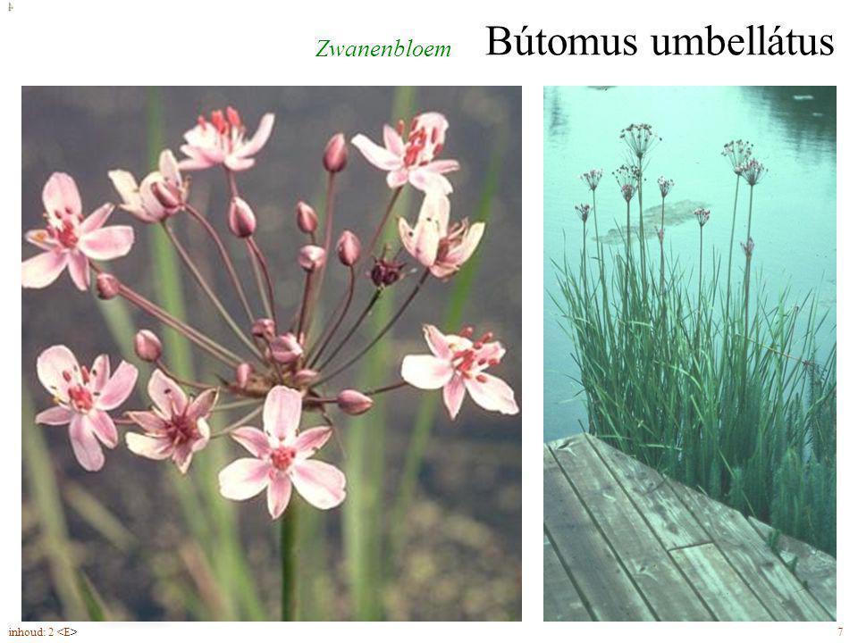 Bútomus umbellátus bladeren op doorsnede driehoekig bloemen (6-7) in schermen Zwanenbloem inhoud: 2 7