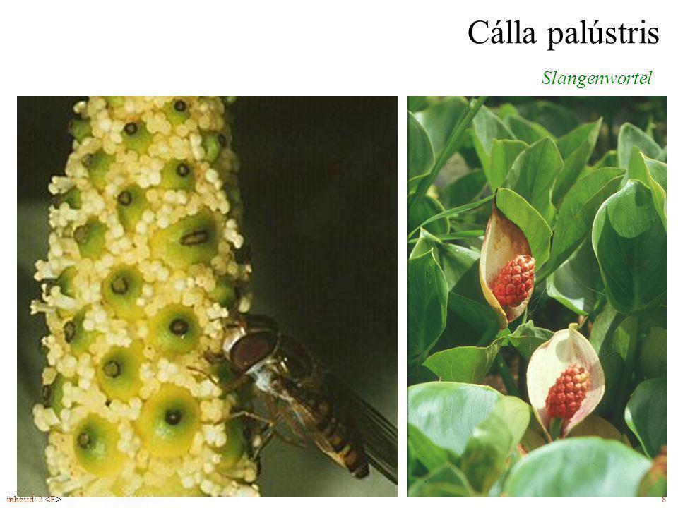 Méntha aquática Watermunt bloemen (6-10) in een sterk ruikende, bolvormige bloeiwijze inhoud: 2 35