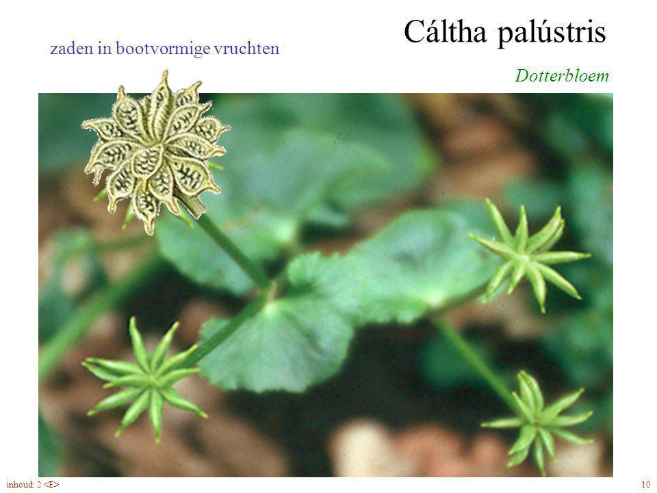 Cáltha palústris Dotterbloem 5-6 bloembladen (4-5) zaden in bootvormige vruchten inhoud: 2 10