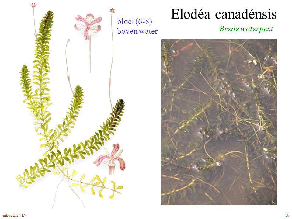 Hottónia palústris Waterviolier bloemen (5-6) in een ijle bloeiwijze verenigd ondergedoken, veerdelige bladeren inhoud: 2 22