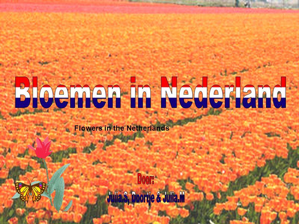 Hoofdstukken( chapters) 1.Van bol naar bloem ( from bulb to flower) 2.Geschiedenis bloemen in NL ( history) 3.Bloemen nu in NL ( flowers now) 4.Soorten bloemen in NL ( types of flowers) 4.Bloemenkwekerijen ( producers) 4.Economie ( economy) 5.Bloemenevenementen ( flowerfeasts)