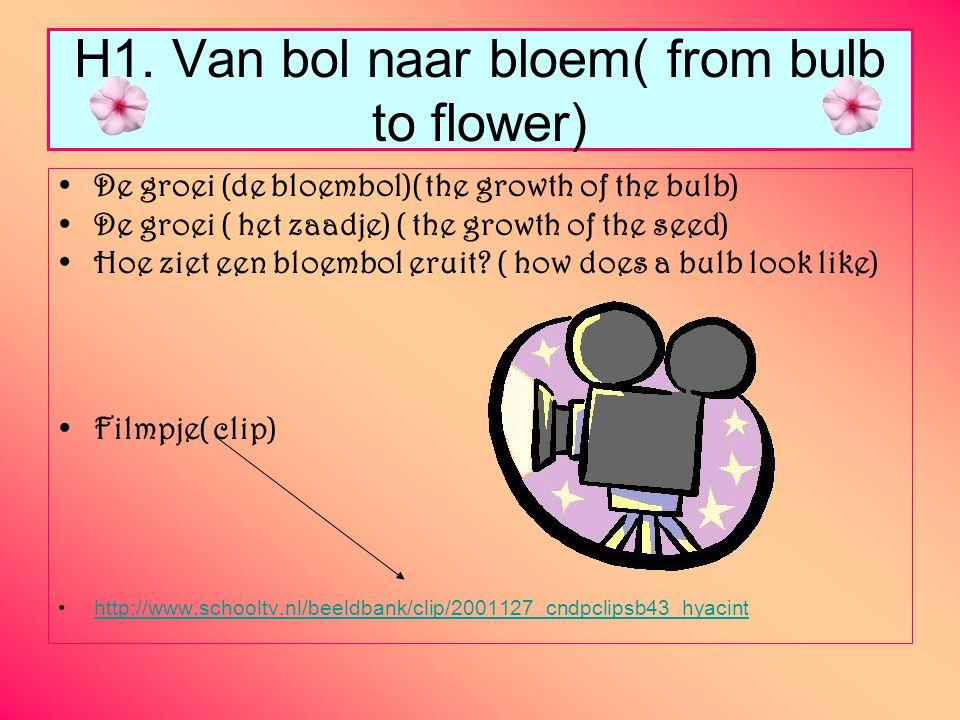 H1. Van bol naar bloem( from bulb to flower) De groei (de bloembol)( the growth of the bulb) De groei ( het zaadje) ( the growth of the seed) Hoe ziet