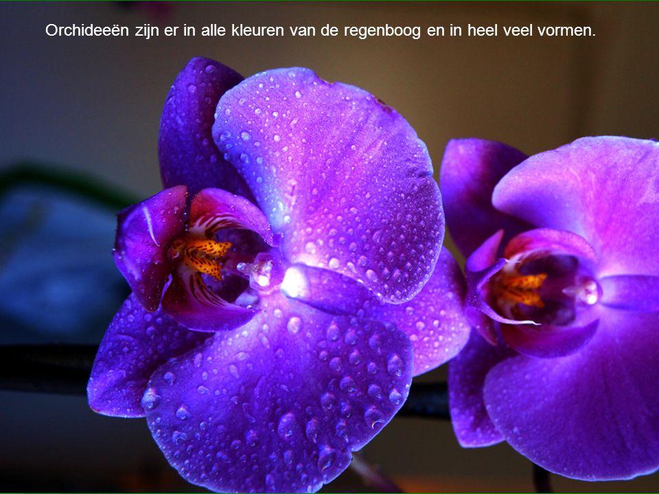  Orchideeën zijn er in alle kleuren van de regenboog en in heel veel vormen. Orchideeën zijn er in alle kleuren van de regenboog en in heel veel vorm