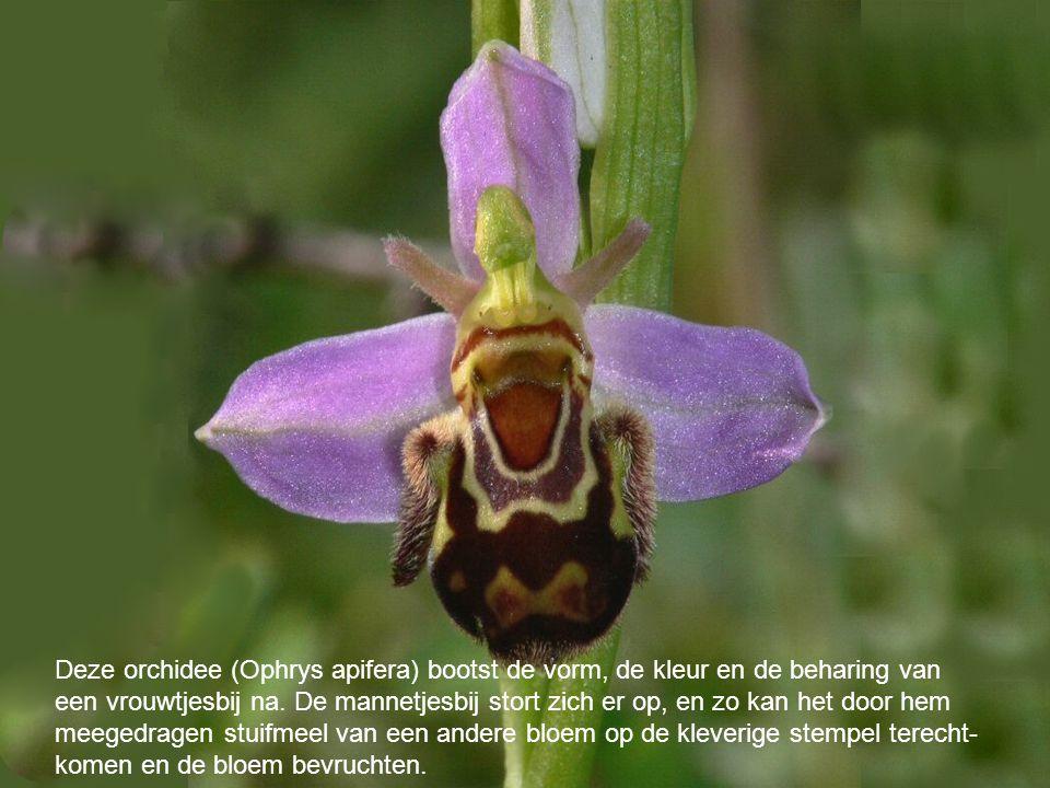 Deze orchidee (Ophrys apifera) bootst de vorm, de kleur en de beharing van een vrouwtjesbij na. De mannetjesbij stort zich er op, en zo kan het door h