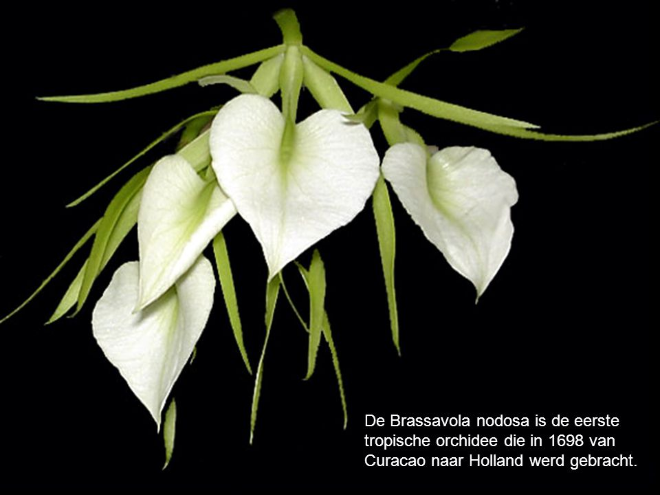 De Brassavola nodosa is de eerste tropische orchidee die in 1698 van Curacao naar Holland werd gebracht.