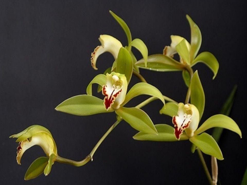 Schoonheid is van praktische waarde voor de wilde orchidee.