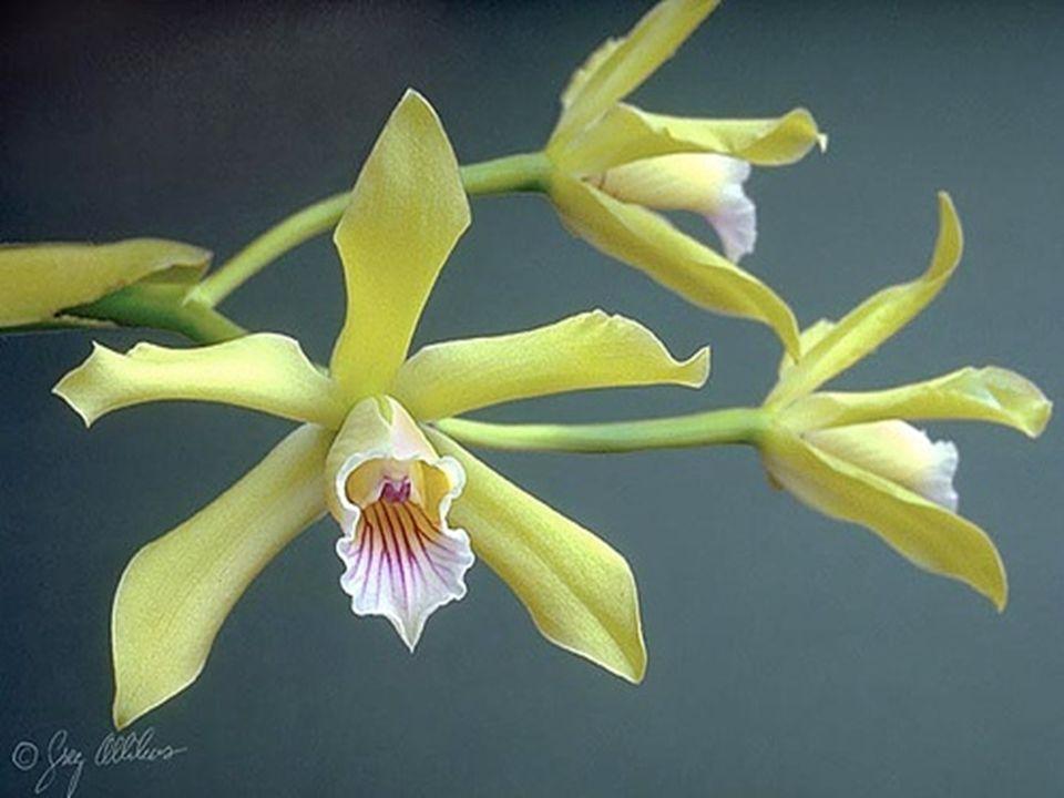 De zaden van orchideeën zijn klein, soms zelfs zo fijn als stof.