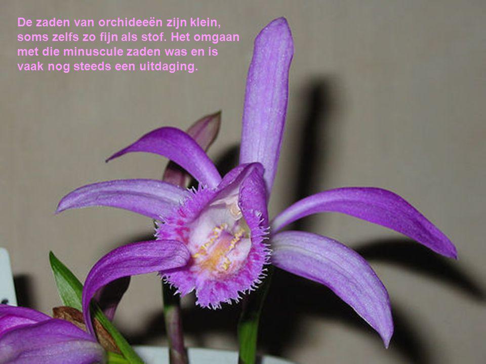 De zaden van orchideeën zijn klein, soms zelfs zo fijn als stof. Het omgaan met die minuscule zaden was en is vaak nog steeds een uitdaging.