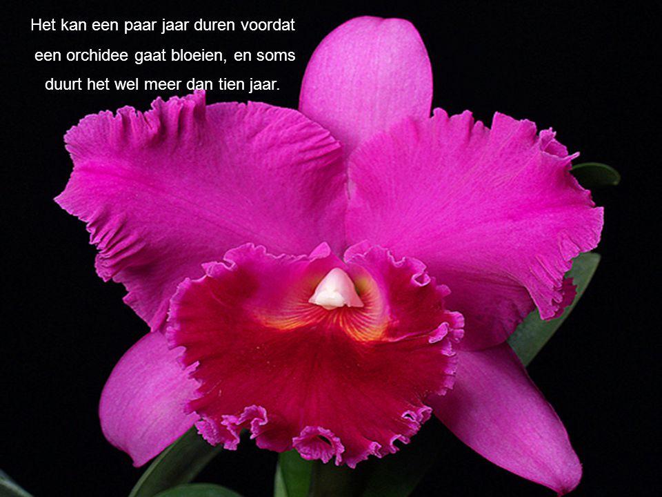 Het kan een paar jaar duren voordat een orchidee gaat bloeien, en soms duurt het wel meer dan tien jaar.