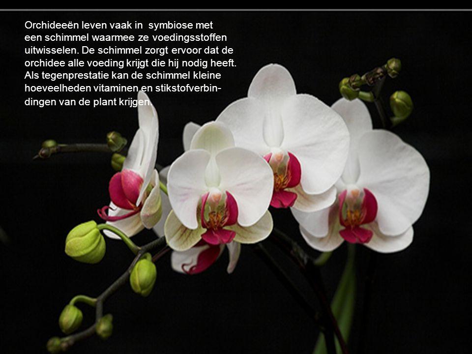 Orchideeën leven vaak in symbiose met een schimmel waarmee ze voedingsstoffen uitwisselen. De schimmel zorgt ervoor dat de orchidee alle voeding krijg