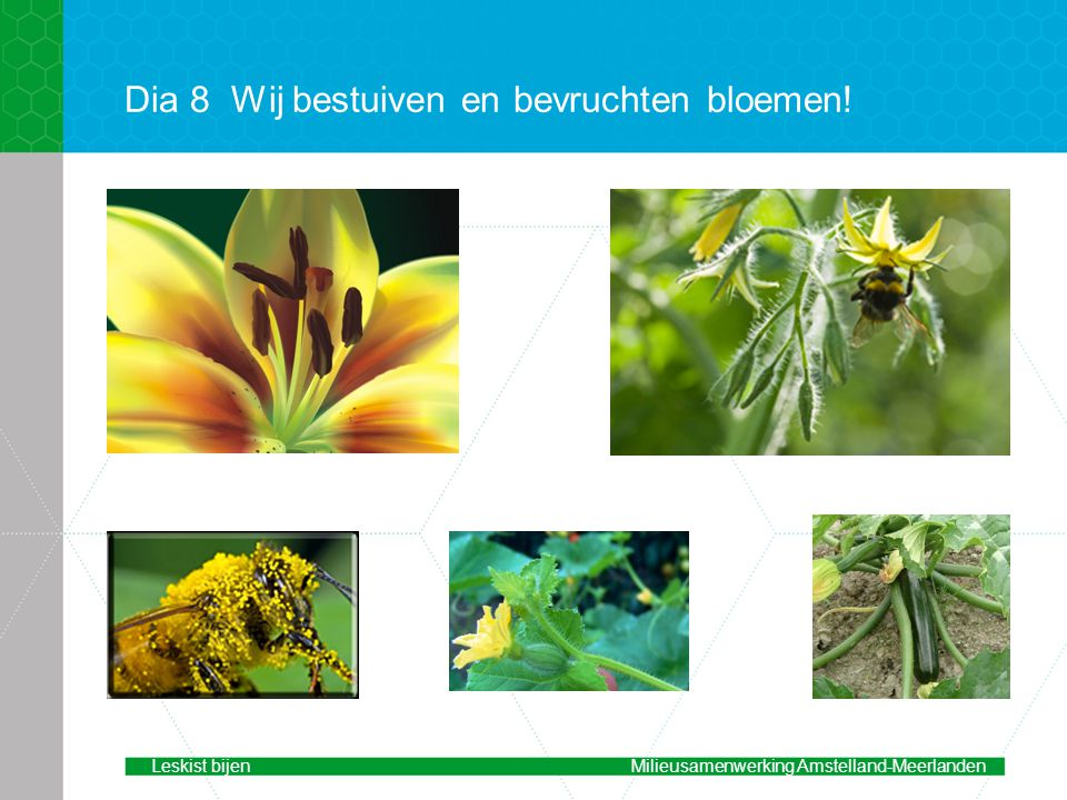 Dia 8Wij bestuiven en bevruchten bloemen! Leskist bijenMilieusamenwerking Amstelland-Meerlanden