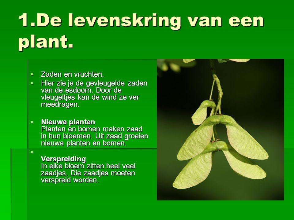 1.De levenskring van een plant.  Zaden en vruchten.  Hier zie je de gevleugelde zaden van de esdoorn. Door de vleugeltjes kan de wind ze ver meedrag