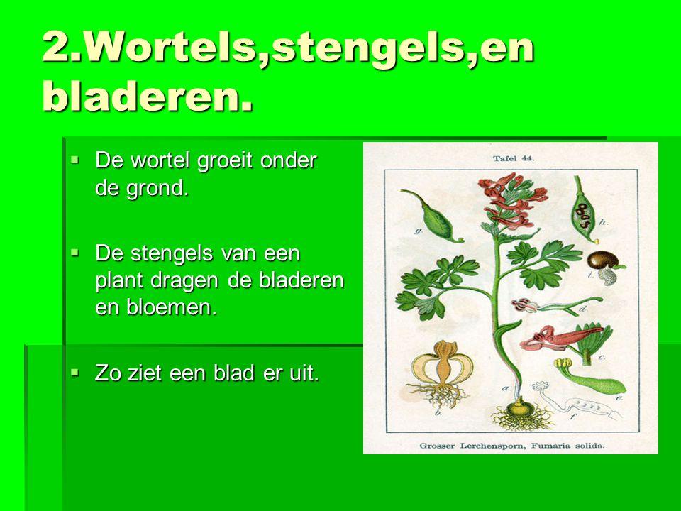 2.Wortels,stengels,en bladeren.  De wortel groeit onder de grond.  De stengels van een plant dragen de bladeren en bloemen.  Zo ziet een blad er ui