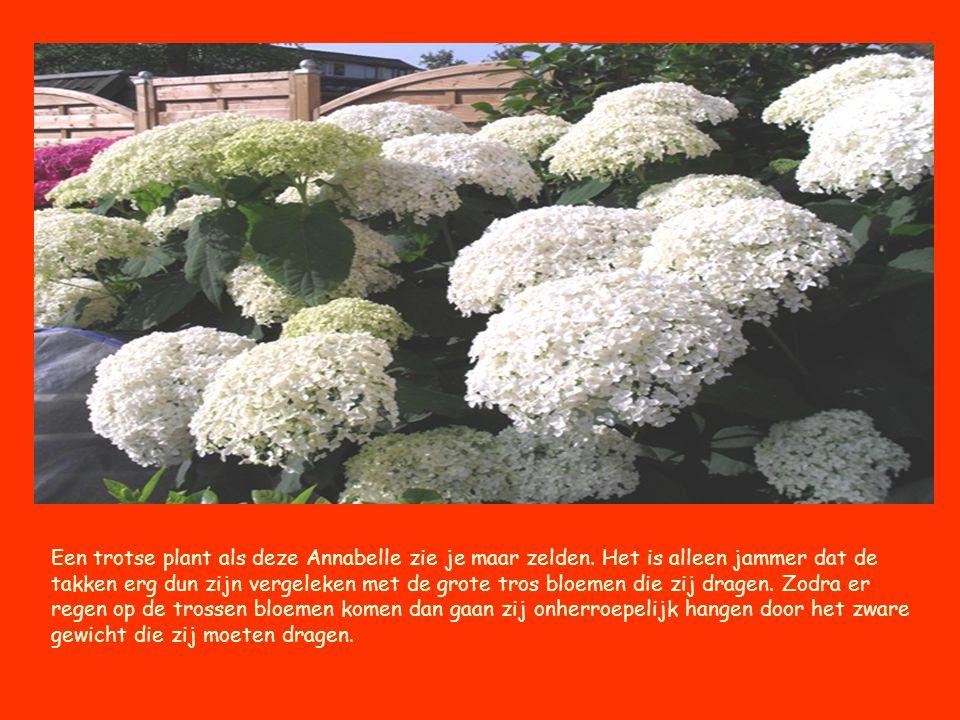 Een trotse plant als deze Annabelle zie je maar zelden. Het is alleen jammer dat de takken erg dun zijn vergeleken met de grote tros bloemen die zij d