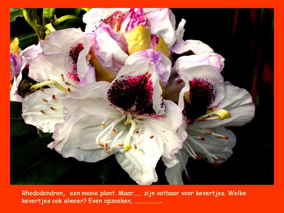 Rhododendron, een mooie plant. Maar…… zijn vatbaar voor kevertjes. Welke kevertjes ook alweer? Even opzoeken, ………………..