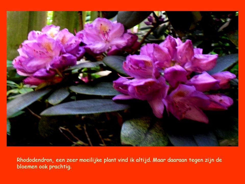 Rhododendron, een zeer moeilijke plant vind ik altijd. Maar daaraan tegen zijn de bloemen ook prachtig.