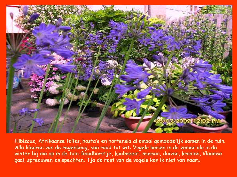 Hibiscus, Afrikaanse lelies, hosta's en hortensia allemaal gemoedelijk samen in de tuin. Alle kleuren van de regenboog, van rood tot wit. Vogels komen