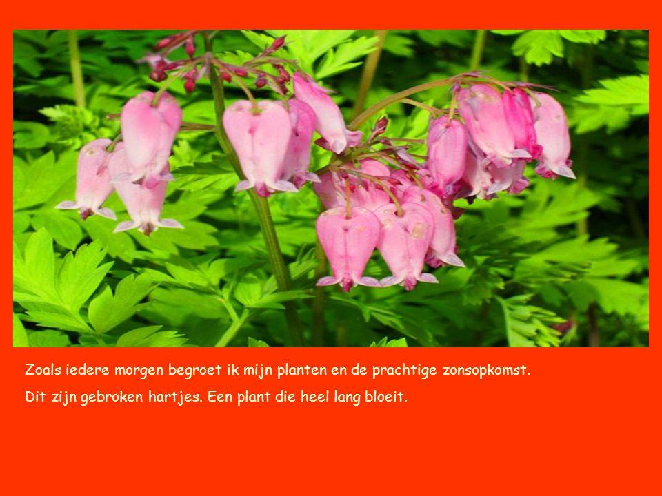 Hortensia's prachtige planten, het wachten is alleen nog op een blauwe hortensia.