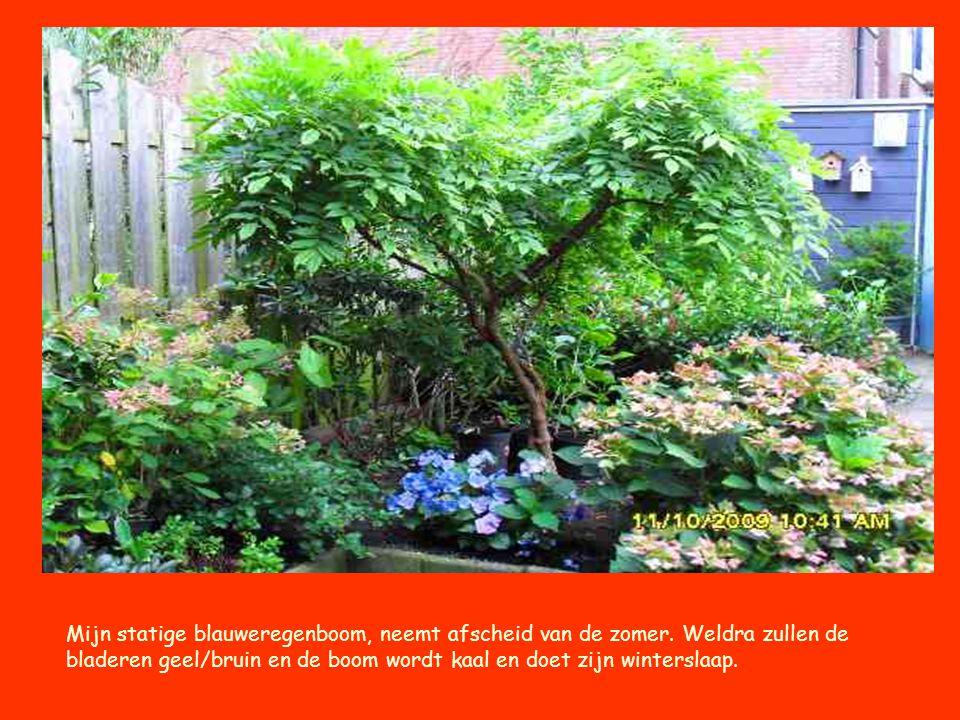 Mijn statige blauweregenboom, neemt afscheid van de zomer. Weldra zullen de bladeren geel/bruin en de boom wordt kaal en doet zijn winterslaap.