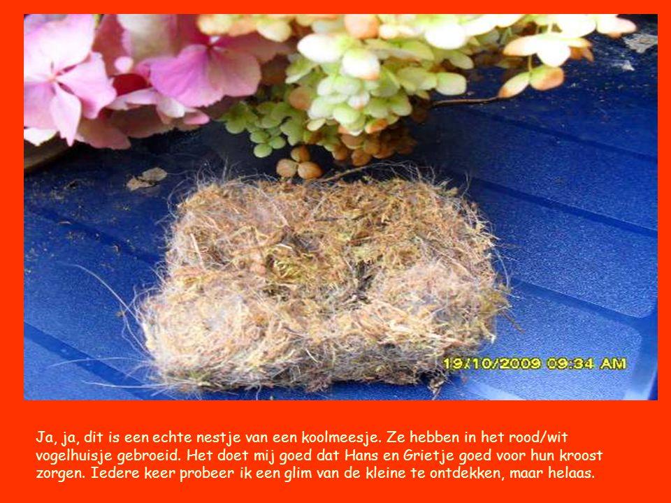 Ja, ja, dit is een echte nestje van een koolmeesje. Ze hebben in het rood/wit vogelhuisje gebroeid. Het doet mij goed dat Hans en Grietje goed voor hu