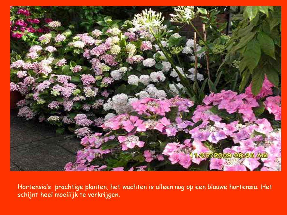 Hortensia's prachtige planten, het wachten is alleen nog op een blauwe hortensia. Het schijnt heel moeilijk te verkrijgen.