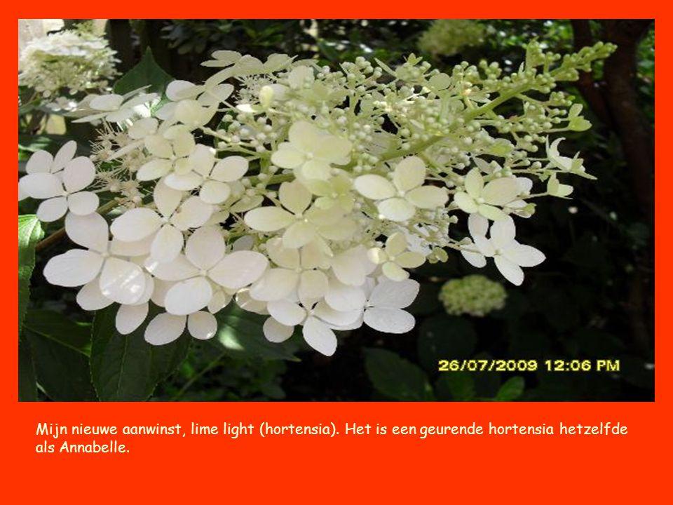 Mijn nieuwe aanwinst, lime light (hortensia). Het is een geurende hortensia hetzelfde als Annabelle.