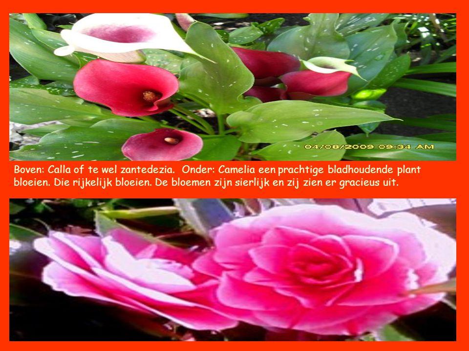 Boven: Calla of te wel zantedezia. Onder: Camelia een prachtige bladhoudende plant bloeien. Die rijkelijk bloeien. De bloemen zijn sierlijk en zij zie