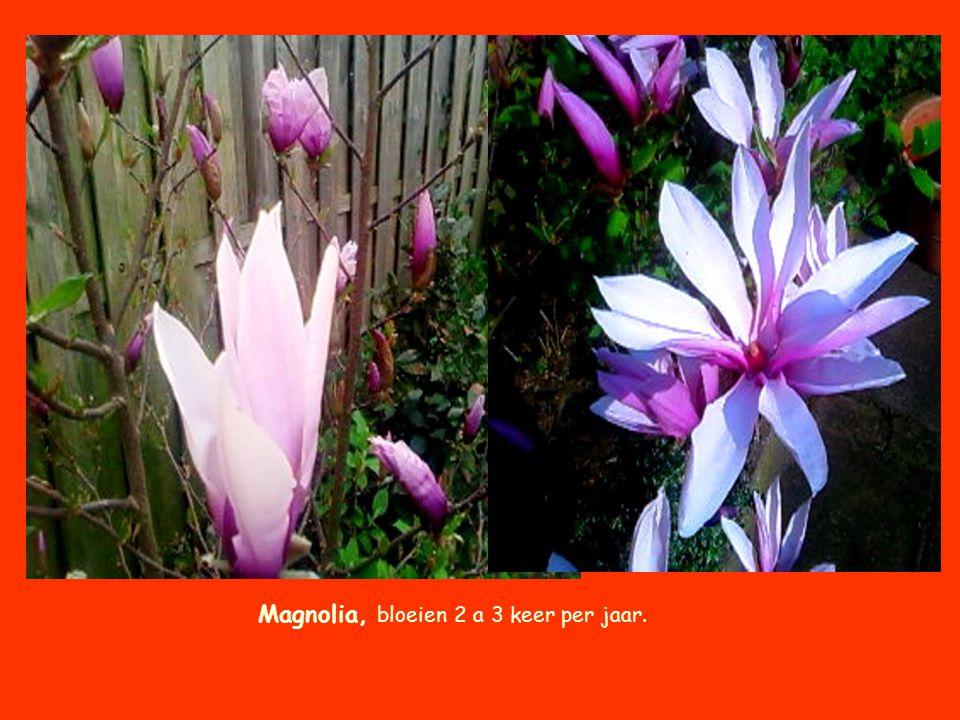 Magnolia, bloeien 2 a 3 keer per jaar.