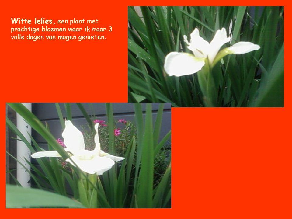 Prachtige plant zowel voor de tuin als voor binnenshuis.