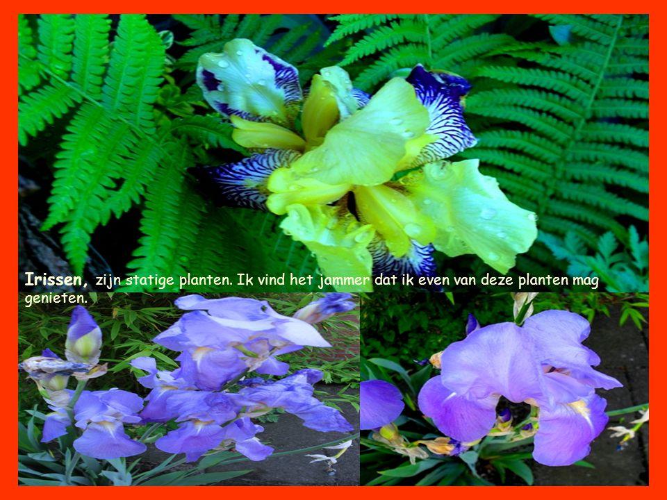 Irissen, zijn statige planten. Ik vind het jammer dat ik even van deze planten mag genieten.