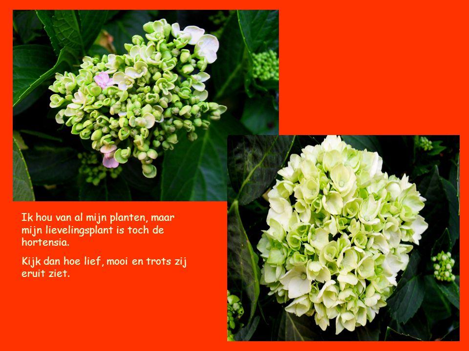 Ik hou van al mijn planten, maar mijn lievelingsplant is toch de hortensia. Kijk dan hoe lief, mooi en trots zij eruit ziet.