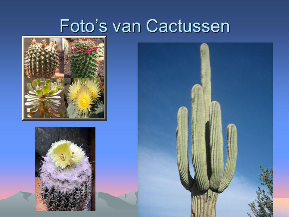 Foto's Cactussen