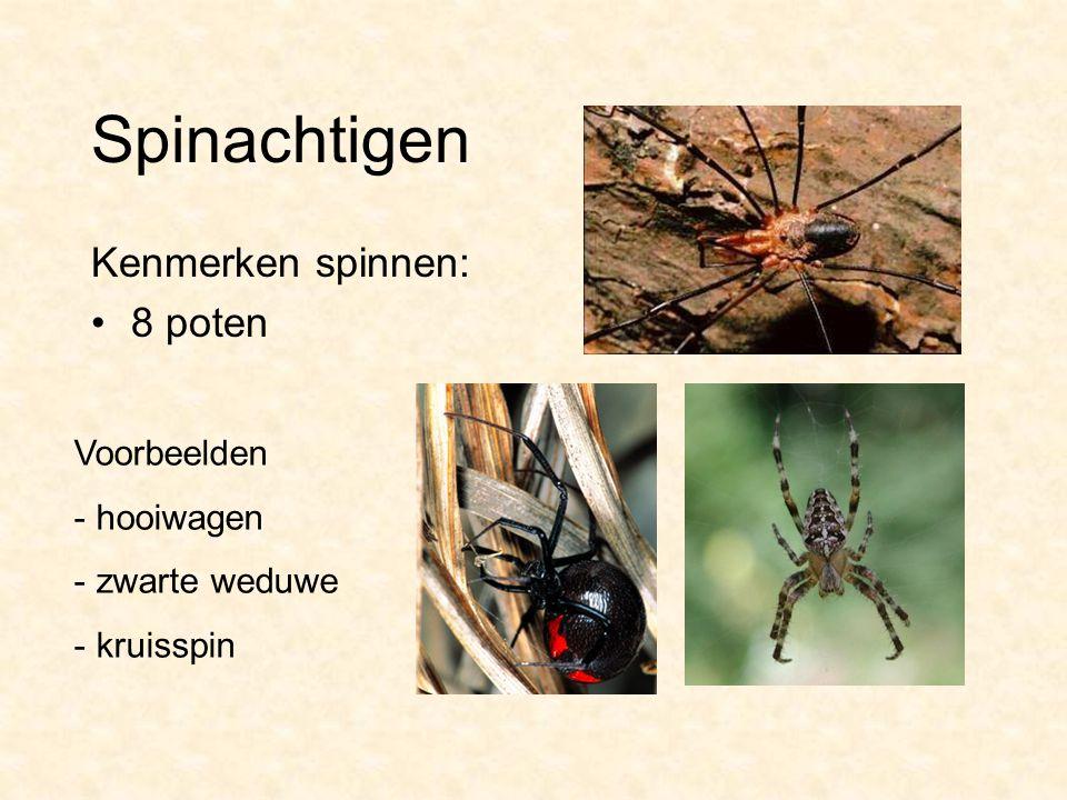 Spinachtigen Kenmerken spinnen: 8 poten Voorbeelden - hooiwagen - zwarte weduwe - kruisspin