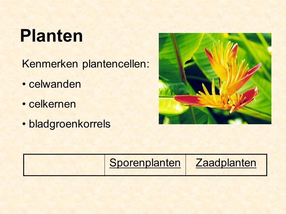 Planten SporenplantenZaadplanten Kenmerken plantencellen: celwanden celkernen bladgroenkorrels