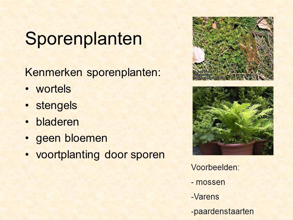 Sporenplanten Kenmerken sporenplanten: wortels stengels bladeren geen bloemen voortplanting door sporen Voorbeelden: - mossen -Varens -paardenstaarten