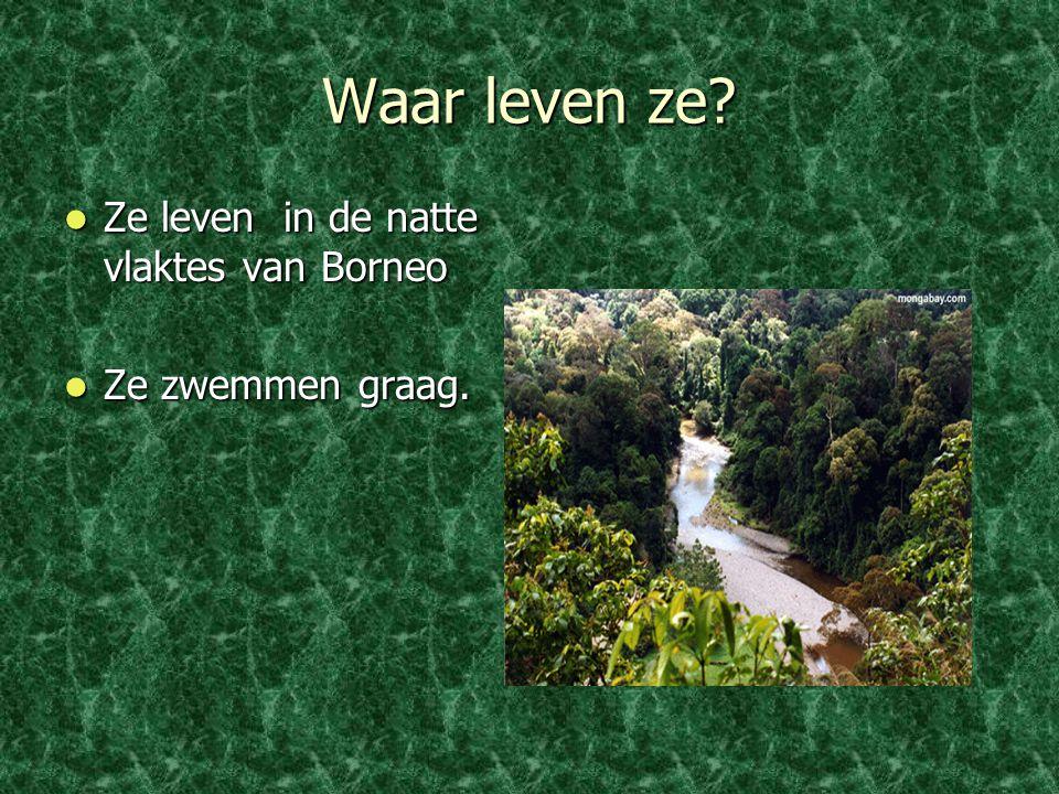 Waar leven ze? Ze leven in de natte vlaktes van Borneo Ze leven in de natte vlaktes van Borneo Ze zwemmen graag. Ze zwemmen graag.