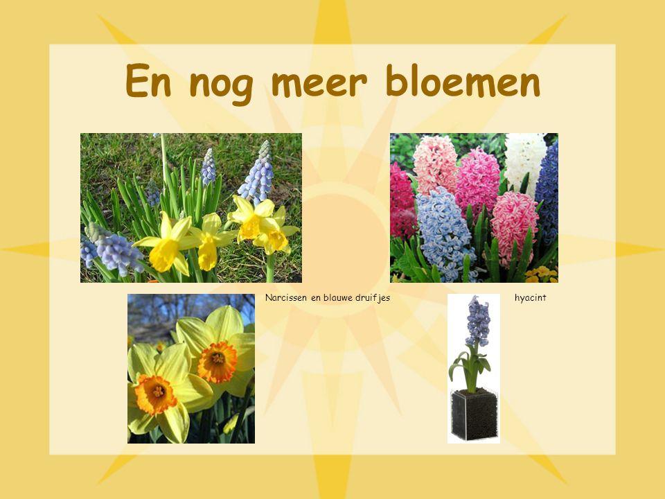 En nog meer bloemen hyacintNarcissen en blauwe druifjes