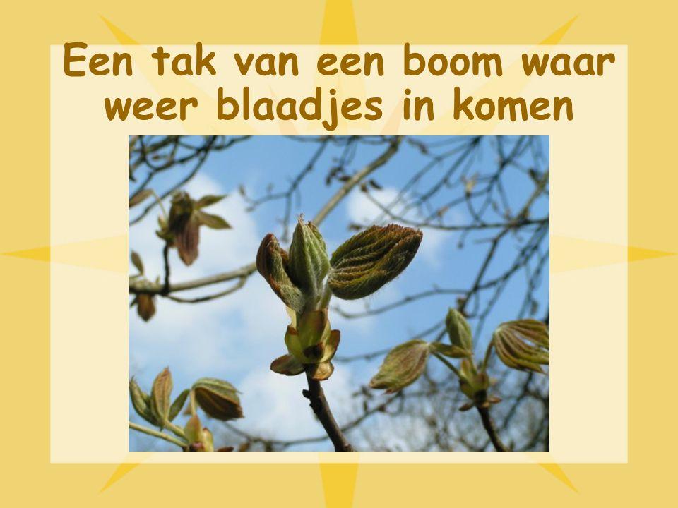 Bomen in de lente In de lente komen er bloemetjes in de bomen, dit noemen we bloesem. De wind waait alle bloesem uit de bomen. Daarna komen er blaadje