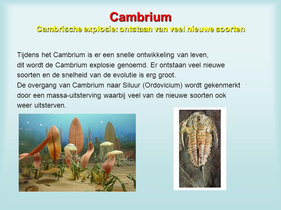 Cambrium Cambrische explosie: ontstaan van veel nieuwe soorten Tijdens het Cambrium is er een snelle ontwikkeling van leven, dit wordt de Cambrium exp