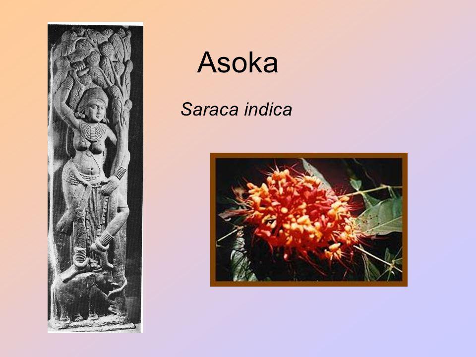 Asoka Saraca indica
