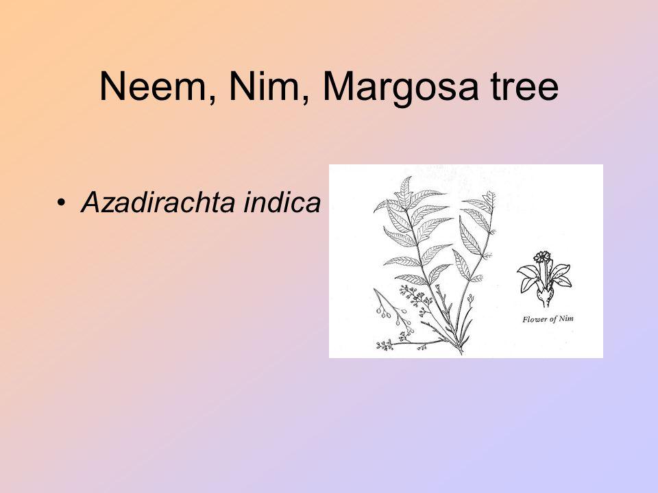 Neem, Nim, Margosa tree Azadirachta indica
